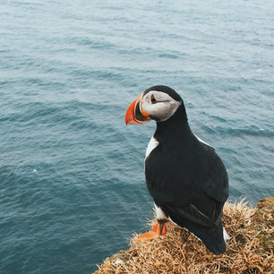 The Feather Factor:  Concern for bird life grounds huge offshore wind project